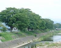 芹川ケヤキ並木